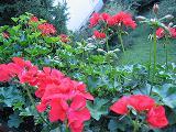 geranium05w.JPG